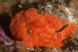 BD-151231-Malapasqua-1602-Antennarius-pictus-(Shaw.-1794)-[Painted-frogfish].jpg